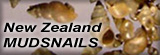 New Zealand Mudsnail
